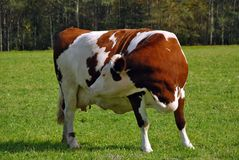 Vaca marrón embarazada que siente el becerro Fotografía de archivo