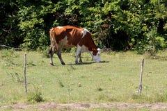 Vaca marrón oscura con la cabeza blanca y puntos que colocan y que comen la hierba seca en el campo protegido con el alambre eléc fotos de archivo libres de regalías