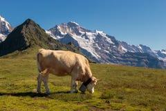 Vaca marrón suiza de la montaña que pasta arriba para arriba en las montañas de Bernese Imagen de archivo libre de regalías