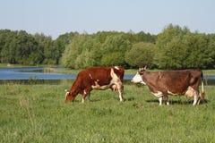 Vaca marrón dos en un pasto del verano Imagen de archivo libre de regalías