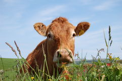vaca marrom Imagem de Stock