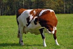 Vaca marrom grávida que sente a vitela Fotografia de Stock