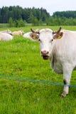 A vaca mastiga a grama e olha Imagens de Stock