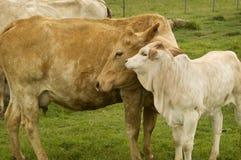 Vaca maternal de la madre del amor con el becerro del resorte del bebé Foto de archivo