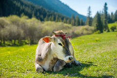 Vaca meditativa en el pasto de la montaña Retrato de la cara de la vaca Vaca que miente en hierba de la montaña Montañas en el fo fotografía de archivo libre de regalías