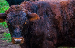 Vaca molhada que está na chuva Texas Cattle na exploração agrícola durante o dia chuvoso Fotografia de Stock
