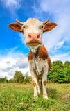 Vaca muy divertida con el bozal grande que mira fijamente derecho en cierre de la cámara para arriba Animales del campo Fotografía de archivo libre de regalías