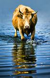 A vaca na água fotos de stock