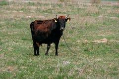 Vaca na corrente no campo Imagem de Stock Royalty Free