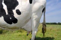Vaca na exploração agrícola Imagem de Stock Royalty Free