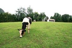 Vaca na exploração agrícola Fotografia de Stock Royalty Free