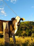 Vaca na exploração agrícola que olha a câmera fotografia de stock