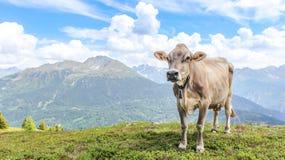 Vaca na frente de um panorama bonito da montanha na paisagem bonita de Tirol imagem de stock