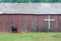 Vaca na frente do celeiro com cruz imagens de stock royalty free