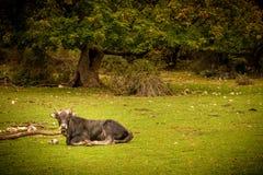 Vaca na grama Fotografia de Stock Royalty Free