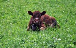 Vaca na grama Imagens de Stock