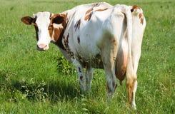 Vaca na grama Foto de Stock