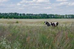 Vaca na grama e nas flores de prado no verão Imagem de Stock Royalty Free