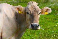 Vaca na grama verde Fotos de Stock