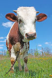 Vaca na grama verde Imagens de Stock Royalty Free