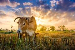 Vaca na grama verde e no céu da manhã com luz fotos de stock
