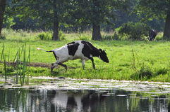 Vaca na lagoa Fotografia de Stock