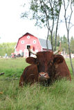 Vaca na máscara fotografia de stock
