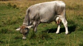 Vaca na montanha Fotos de Stock Royalty Free