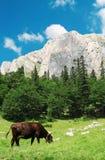 Vaca na natureza foto de stock royalty free