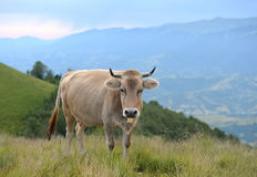 Vaca na natureza Imagem de Stock Royalty Free