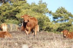 Vaca na natureza imagens de stock