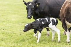 Vaca na pastagem, Nova Zelândia fotos de stock royalty free