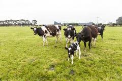 Vaca na pastagem, Nova Zelândia imagem de stock royalty free