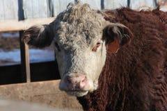 Vaca na pena de terra arrendada Fotografia de Stock Royalty Free