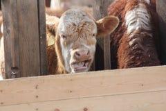 Vaca na pena de terra arrendada Fotos de Stock Royalty Free