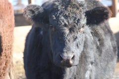 Vaca na pena de terra arrendada Imagens de Stock
