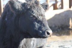 Vaca na pena de terra arrendada Foto de Stock Royalty Free