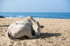 Vaca na praia Imagem de Stock Royalty Free