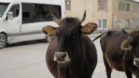 Vaca na rua na cidade - Mestia, Geórgia filme