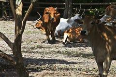 Vaca na vertente Fotografia de Stock
