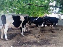Vaca na vila indiana imagens de stock