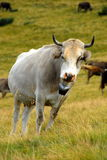 Vaca nas montanhas Fotos de Stock Royalty Free