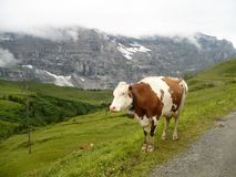 Vaca nas montanhas Foto de Stock Royalty Free
