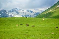 Vaca nas montanhas Fotos de Stock