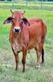 Vaca nativa Foto de archivo libre de regalías