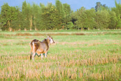 Vaca nativa tailandesa de la raza en hierba Fotos de archivo libres de regalías