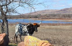 Vaca, natureza, oklahoma imagem de stock royalty free