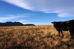Vaca negra Fotografía de archivo libre de regalías