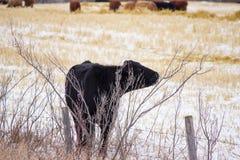 Vaca negra Imagenes de archivo