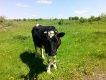 Vaca negra Foto de archivo